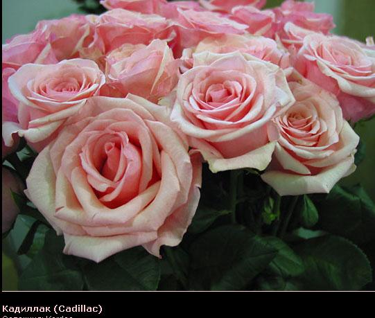 Розовый венец. Розою о розе (о сортах роз). Часть 2. (541x459, 84Kb)