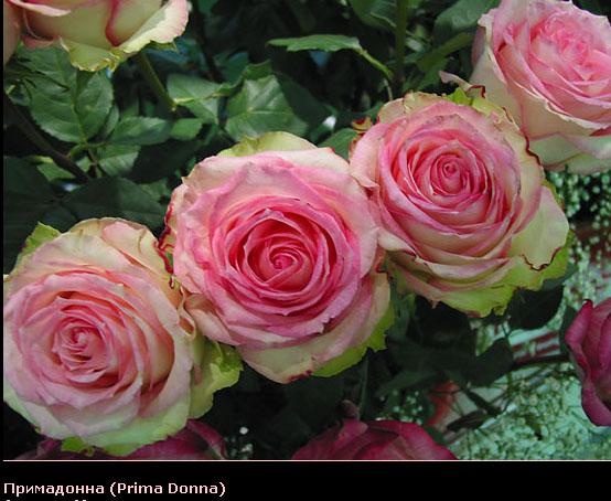 Розовый венец. Розою о розе (о сортах роз). Часть 2. (554x454, 96Kb)