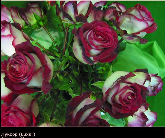 Розовый венец. Розою о розе (о сортах роз). Часть 2. (551x460, 102Kb)