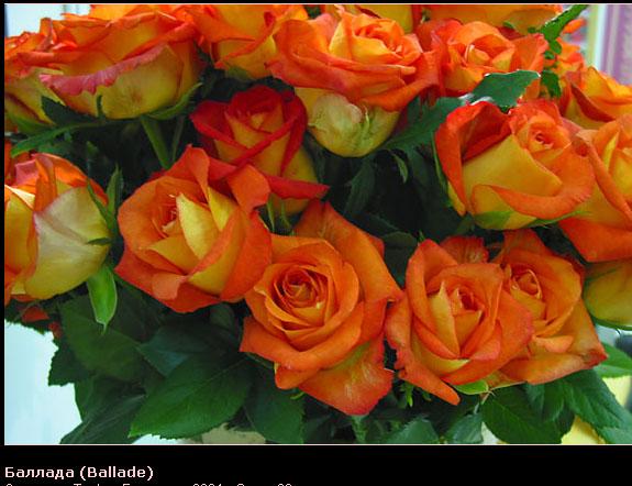 Розовый венец. Розою о розе (о сортах роз). Часть 2. (575x442, 95Kb)