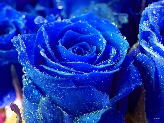 Hq цветы, розы, синие, 1600x1200 картинки на рабочий стол...