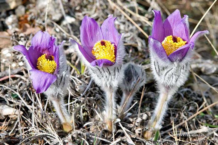 цветы эндемики россии животные и растения луки
