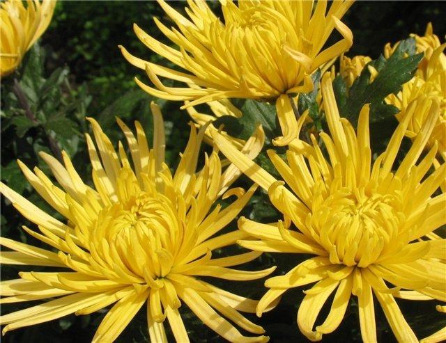 И опять хризантемы Никитского ботанического сада.  Октябрь 2007г