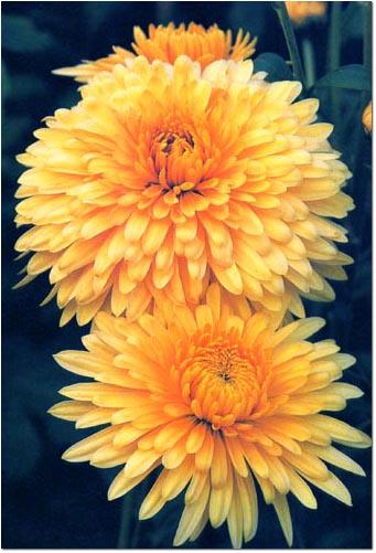 Последние цветы года - хризантемы - появляются с первыми...