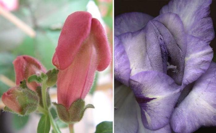 фото цветы похожие на мужские гениталии - 8