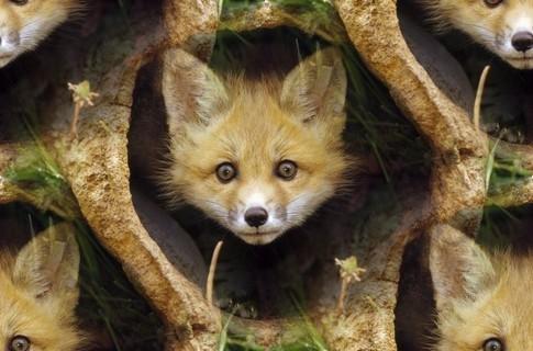 Красивые лисички.