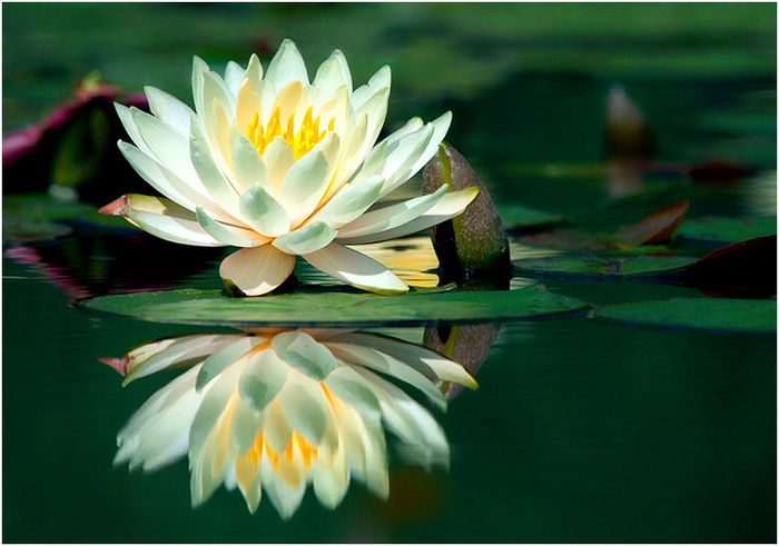 Это цитата сообщения.  Белых лилий цветы молчаливые. novaya_skazka.