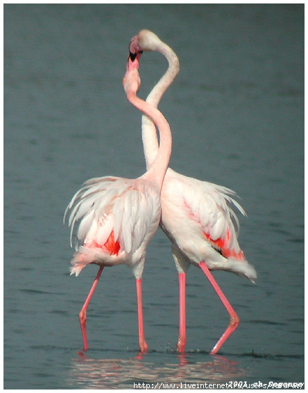 Greater_Flamingo (444x567, 162Kb)