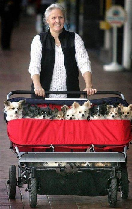 домашние собаки коляска
