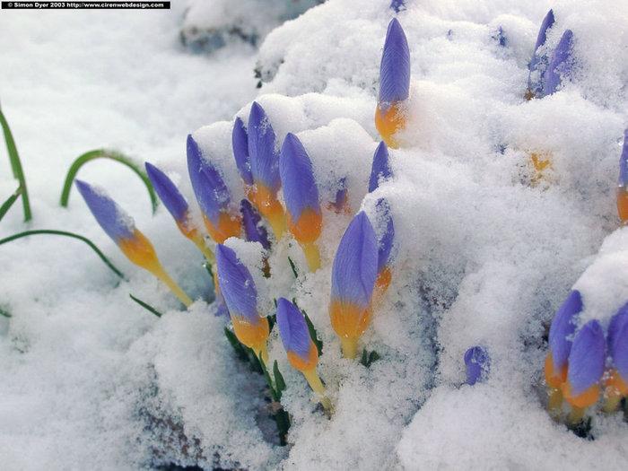 Где зима встречается с весной crocus_snow (700x525, 82Kb)
