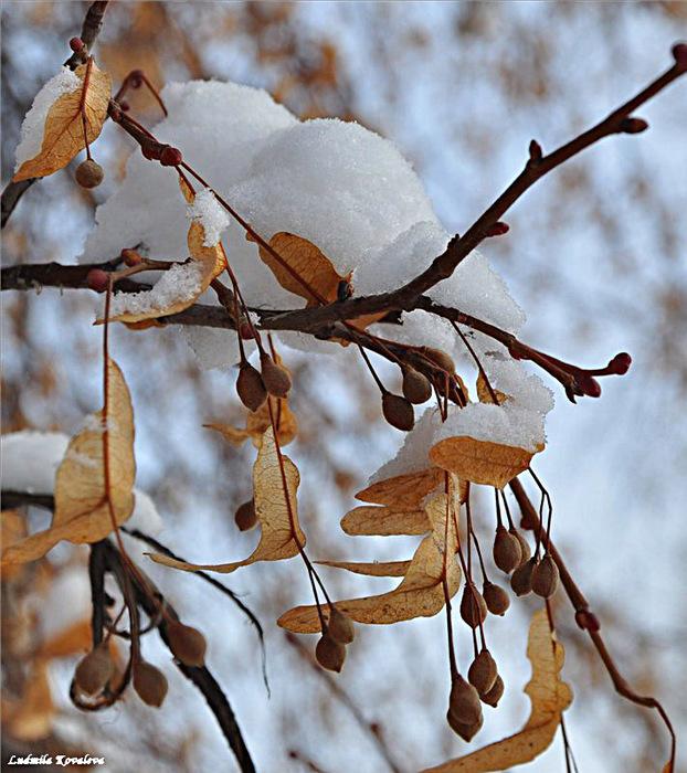 Картинки липы зимой