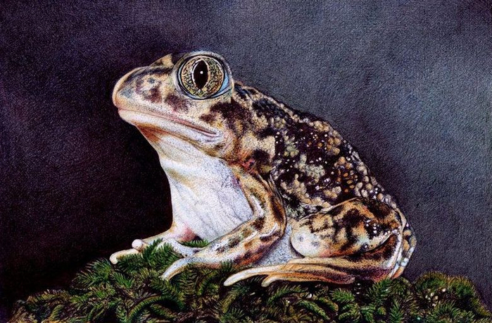 sitting_toad___bic_ballpoint_pen_by_vianaarts-d4nm2x6 (700x458, 411Kb)