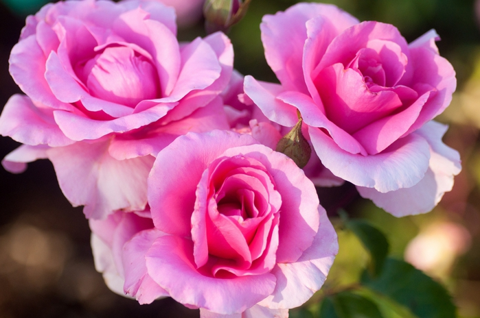 4920201_Rose__trio__buds__petals_2048x1360 (700x464, 220Kb)