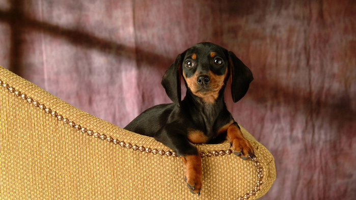 dachshund-puppy-wallpaper-1366x768 (3) (700x393, 330Kb)
