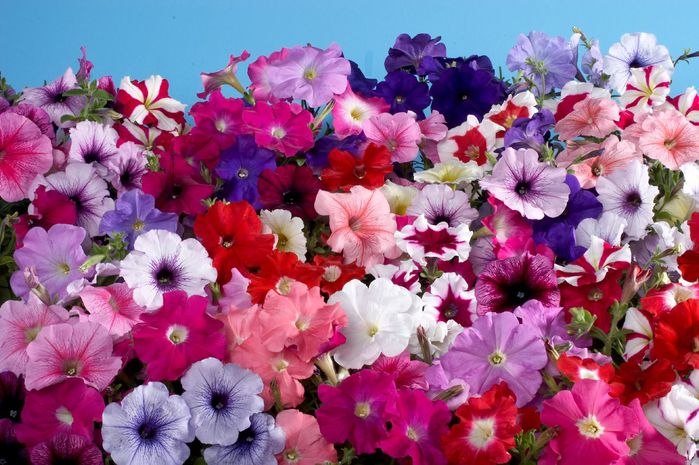 petunia-hybrida-celebrity-regular-mix-t1650-2 (700x465, 83Kb)