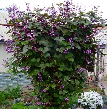 Какие вьющиеся цветы можно посадить на даче