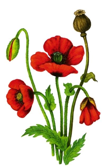 Картинка цветы луговые