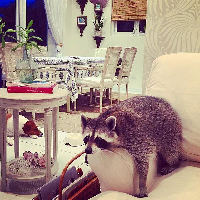 фото енотов в квартире стадий