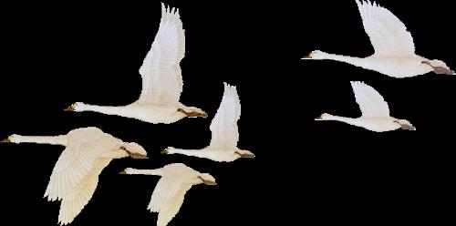 гиф летящие лебеди на прозрачном фоне это выделялись