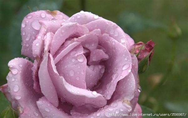 lilac-rose-raindrop-dsc04401_high-600x375 (600x375, 79Kb)