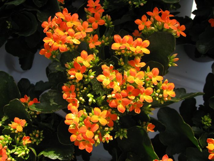 kalanchoe_4318_high (610x415, 354Kb)