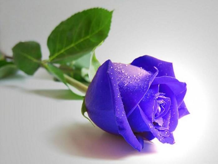 С надписями картинки синие розы