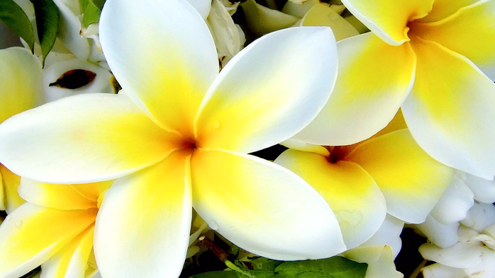 Tropical-Plumeria-Flower-Flower-Wallpaper (700x393, 278Kb)