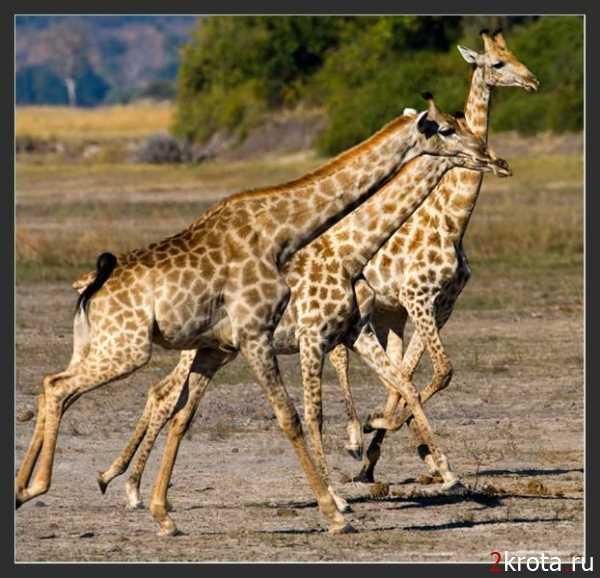 Звуки животных скачать бесплатно mp3 жираф