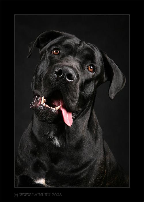 Описание породы собак Русский черный терьер.