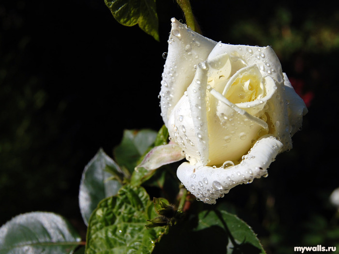 Ласковый май Белые розы.