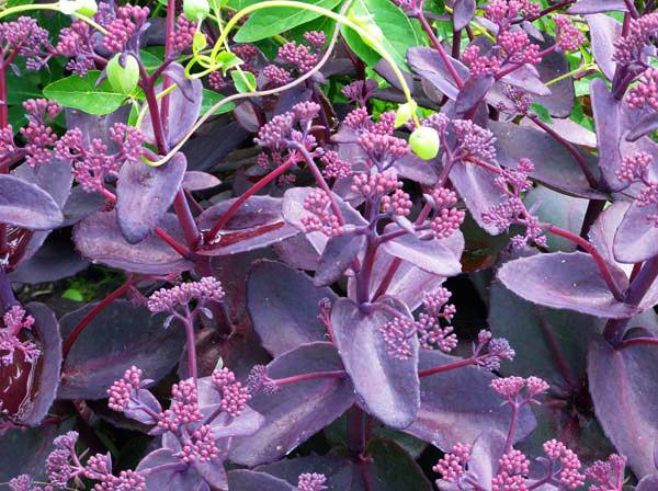 Очиток видный (кустовой) «Пурпурный Император»