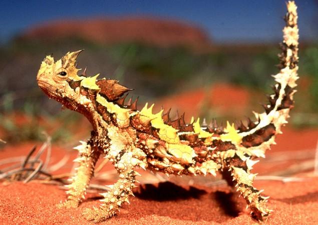 thorny-devil-1 (635x450, 98Kb)