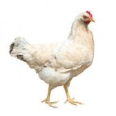 533063-hen-isolated-on-white (168x168, 5Kb)