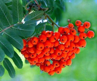 от чего ягоды рябины
