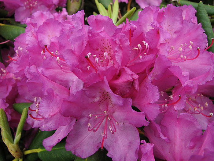 Roan Mountain Rhododendron  Flickr - Photo Sharing! (700x528, 1009Kb)