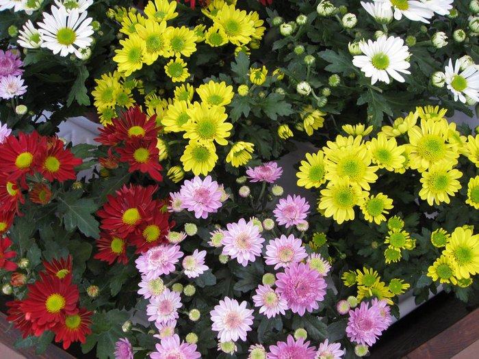 Как выращивать хризантемы.  Хризантемы - прекрасное украшение...
