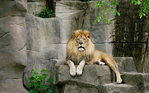 Превью Animals_Beasts_Lion_on_the_rocks_029602_ (700x437, 317Kb)