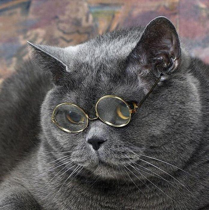Картинки прикольные котов британцев, поздравления днем рождения