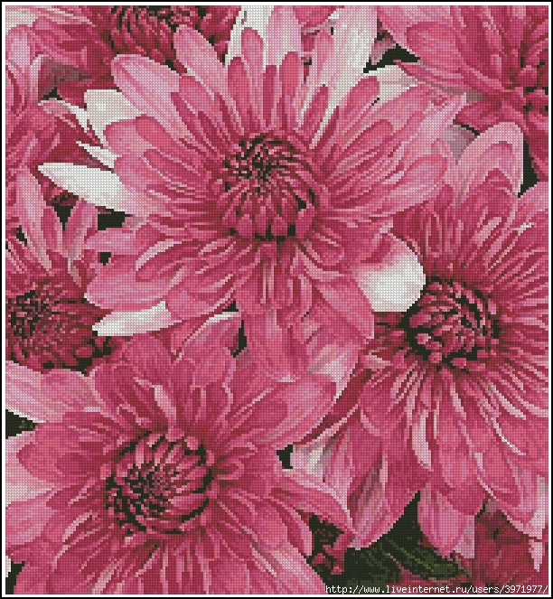 3971977_Artecy_CS_Pink_Chrysanthemums (612x663, 506Kb)