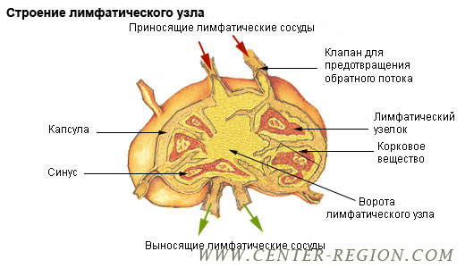 illu_lymph_node_structure_ru (520x300, 92Kb)
