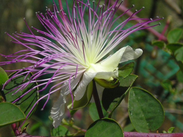 Capparis spinosa25 (700x523, 86Kb)