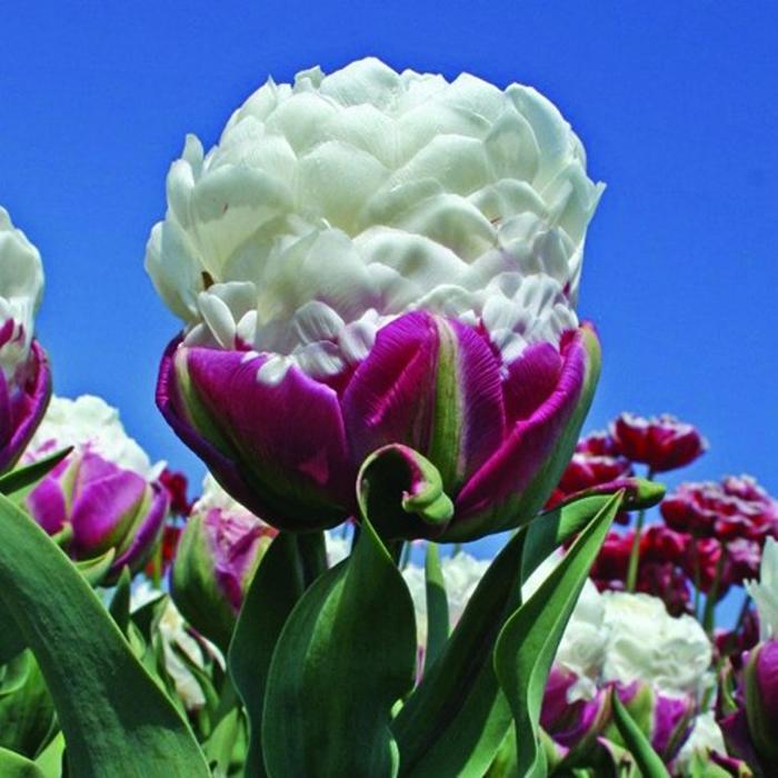 Заказать цветы тюльпан сорта пломбир