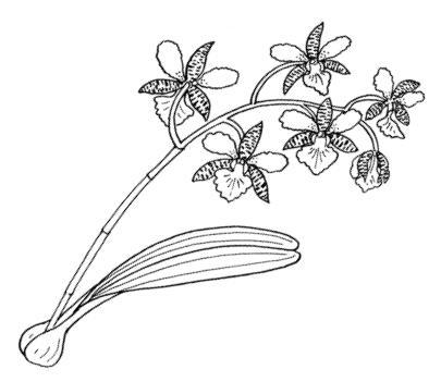 Выкройка орхидеи фаленопсис фото 562