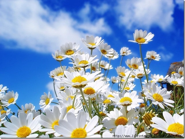 4267534_daisy_flowers_3 (644x484, 207Kb)