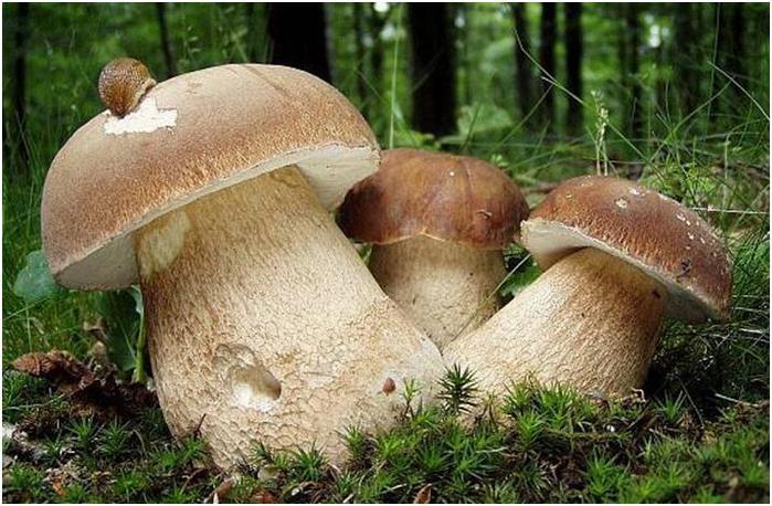 королевский белый гриб фото
