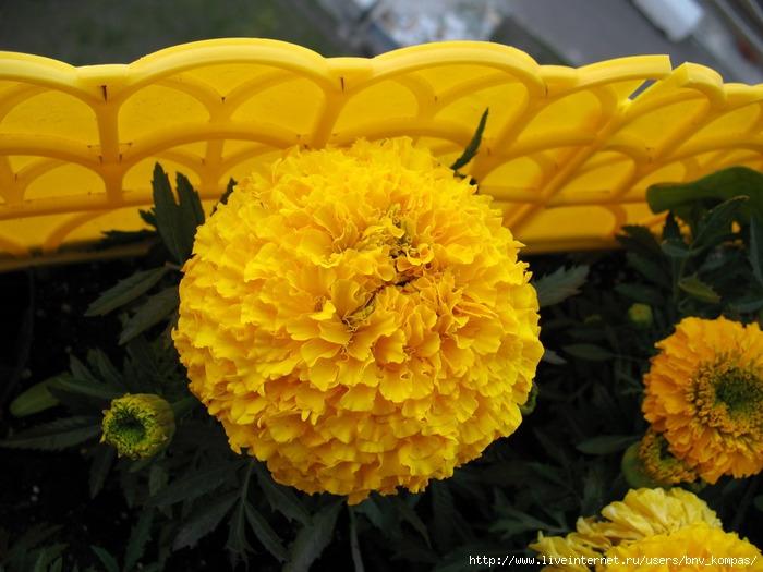 Желтый шар цветок