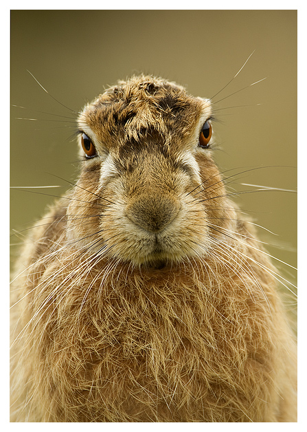 1901311_Brown_Hare_45 (447x628, 245Kb)