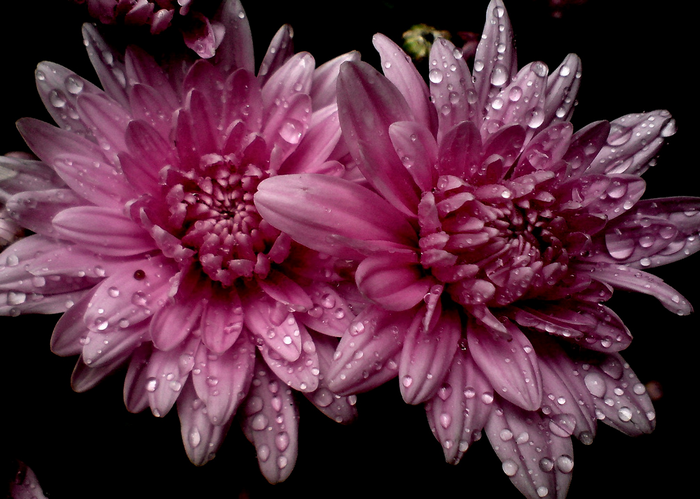 All sizes  Chrysanthemum.. the autumn flower...  Flickr - Photo Sharing! (700x499, 678Kb)
