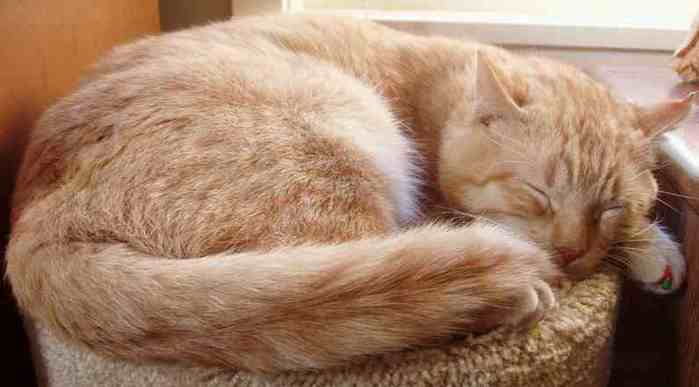 Cat_orange_tabby_ginger_tom_sleeping (700x387, 17Kb)
