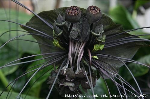 фото чёрная лилия